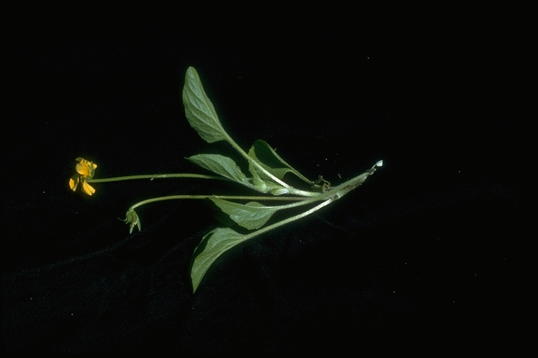 Viola praemorsa ssp. praemorsa