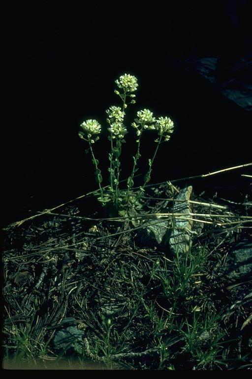 Thlaspi montanum ssp. montanum