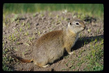 buff squirrel