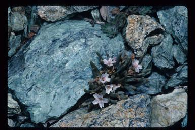 Claytonia spathulata image