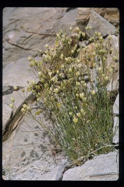 Arenaria macradenia