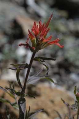 Castilleja applegatei ssp. martinii