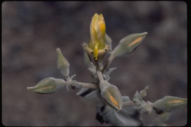 Mentzelia leucophylla image
