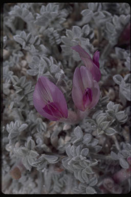 Astragalus phoenix image