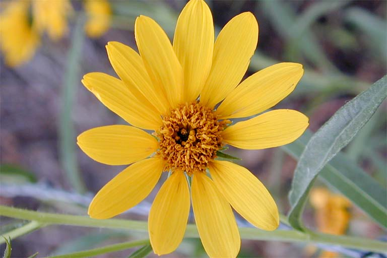 Helianthus nuttallii ssp. nuttallii