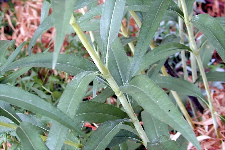 Helianthus nuttallii