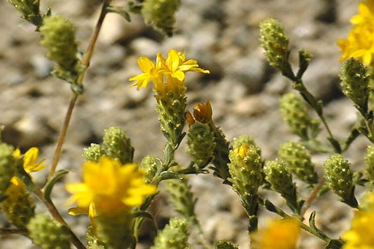 Lessingia lemmonii var. ramulosissima