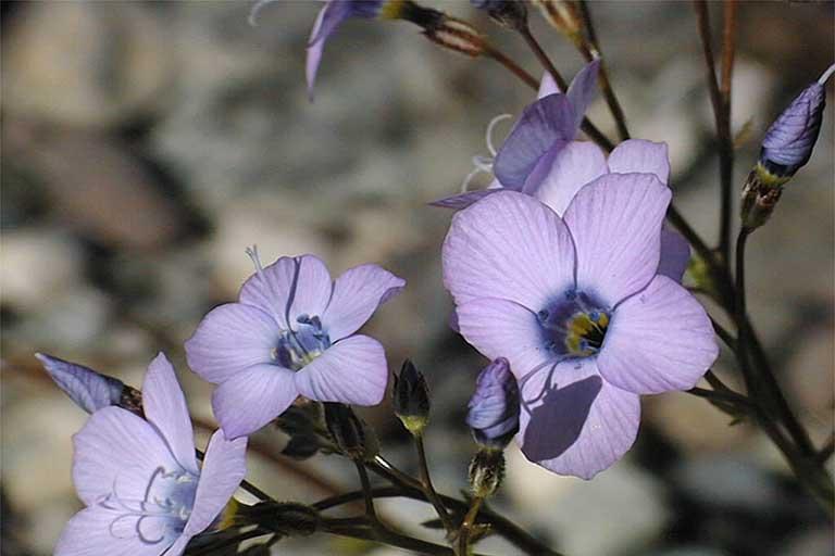 Gilia cana ssp. triceps