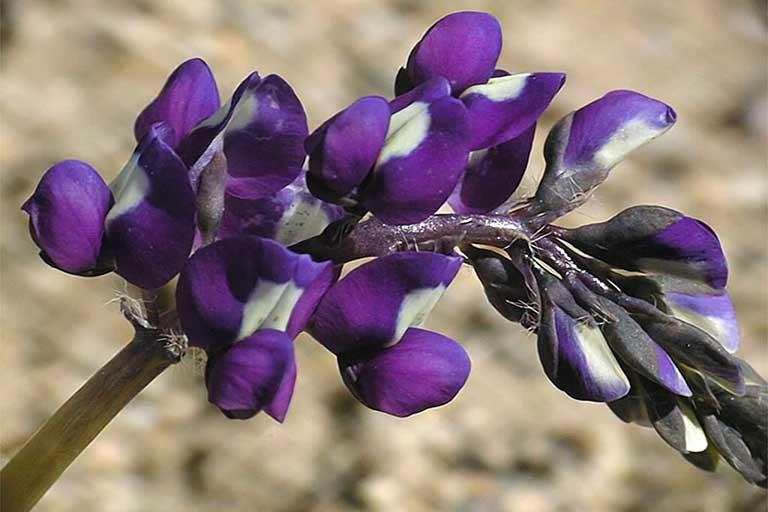 Lupinus odoratus