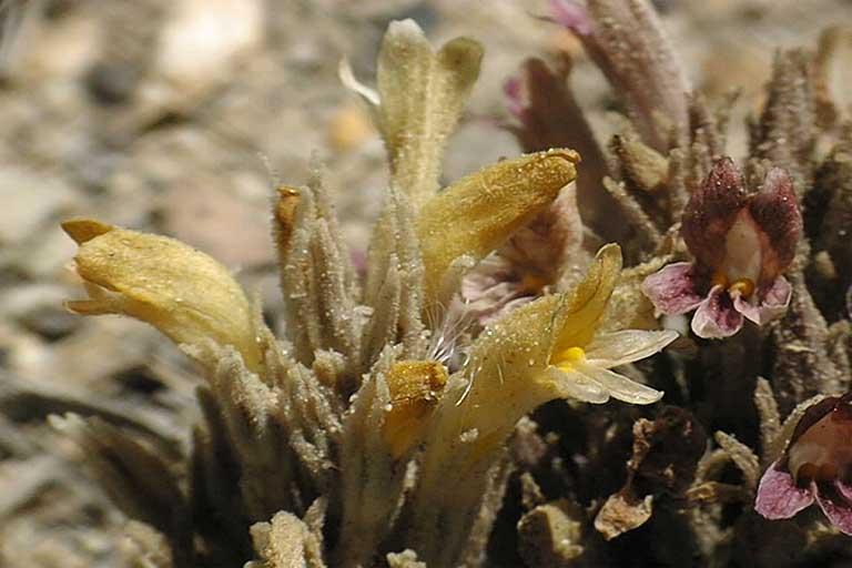 Aphyllon californicum ssp. feudgei