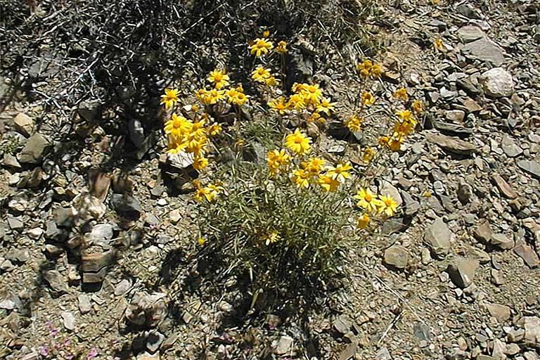 Heliomeris multiflora var. nevadensis
