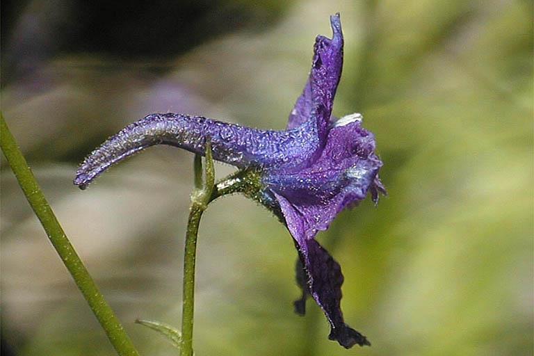 Delphinium polycladon
