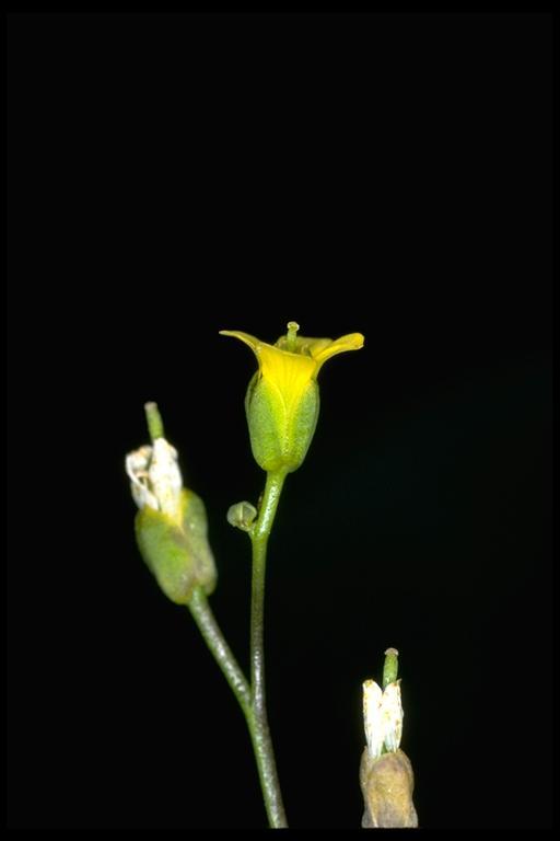 Draba carnosula