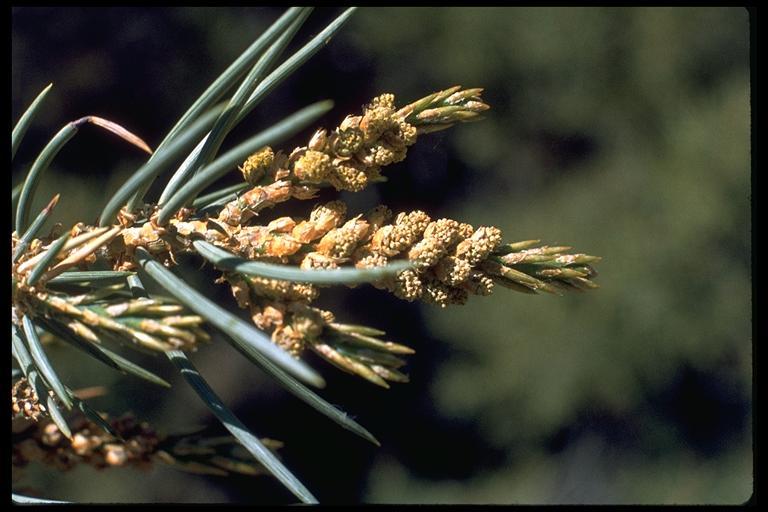 Pinus monophylla