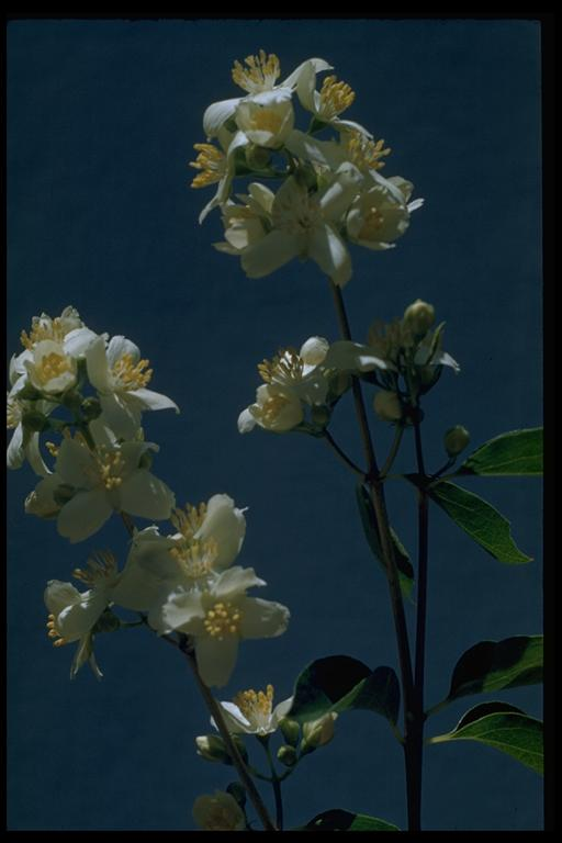 Image of Philadelphus lewisii