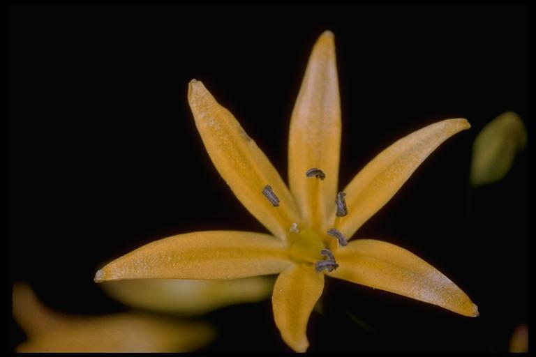 Brodiaea gracilis image