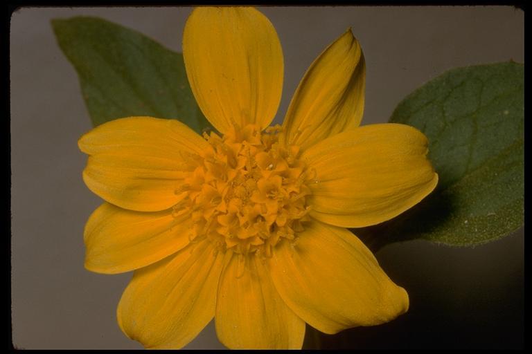 Arnica nevadensis image
