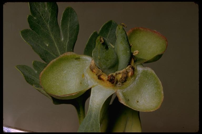 Paeonia image