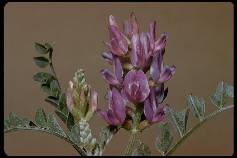 Astragalus lentiginosus
