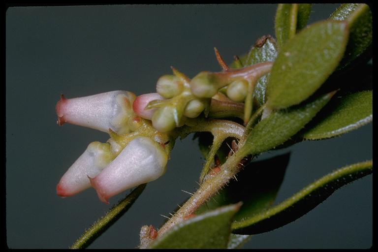 Arctostaphylos myrtifolia image