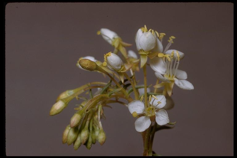 Eremothera boothii ssp. alyssoides