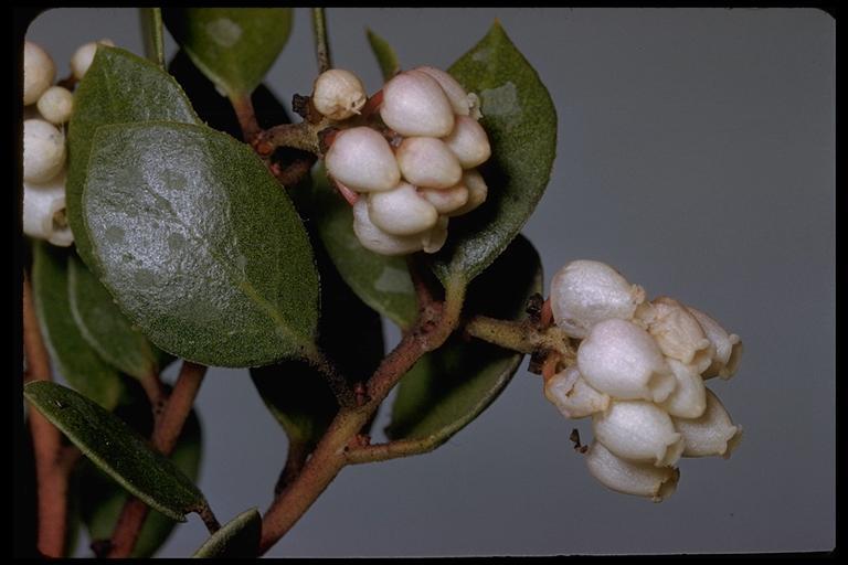 Arctostaphylos hookeri ssp. franciscana