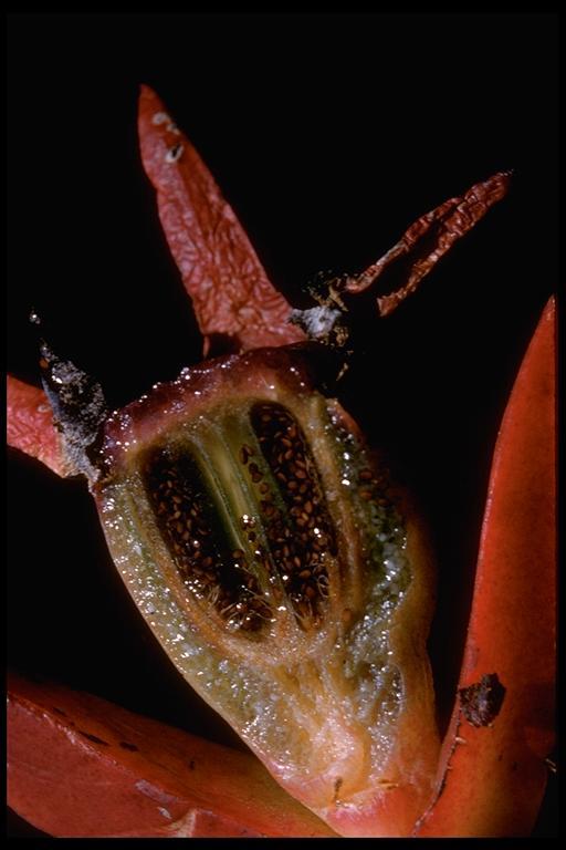 Carpobrotus image