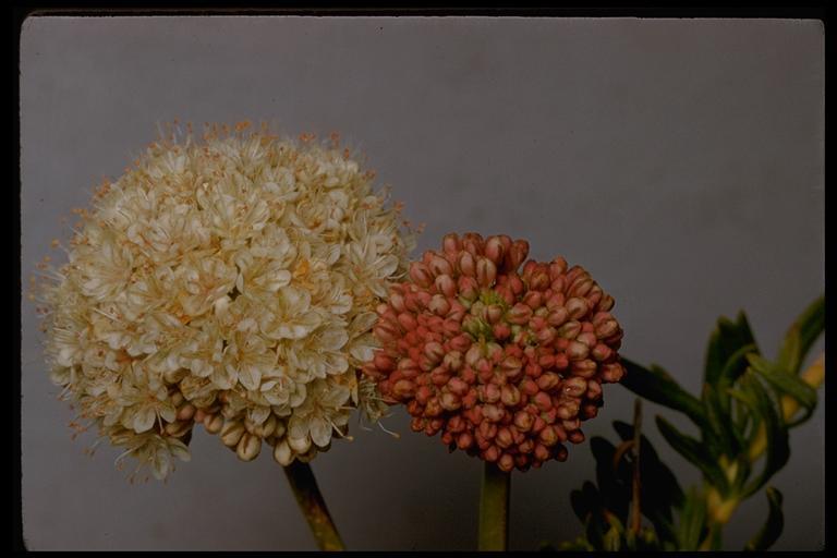 Eriogonum fasciculatum var. flavoviride