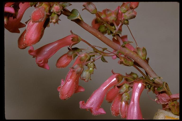 Image of Penstemon clevelandii