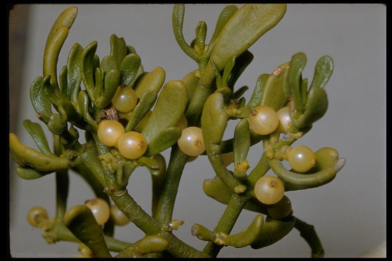 Phoradendron pauciflorum