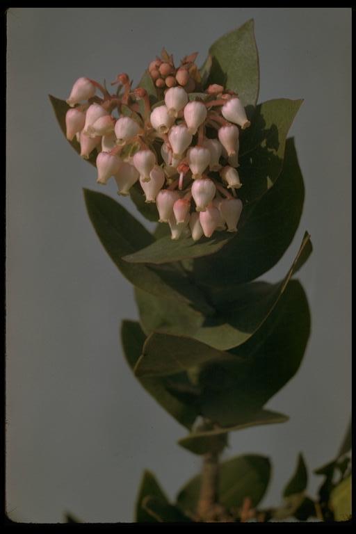 Arctostaphylos pallida image