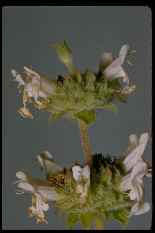 Image of Salvia mellifera