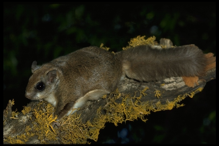 Glaucomys Sabrinus Northern Flying Squirrel Sciurus