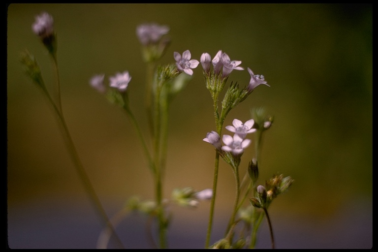 Image of Gilia clivorum