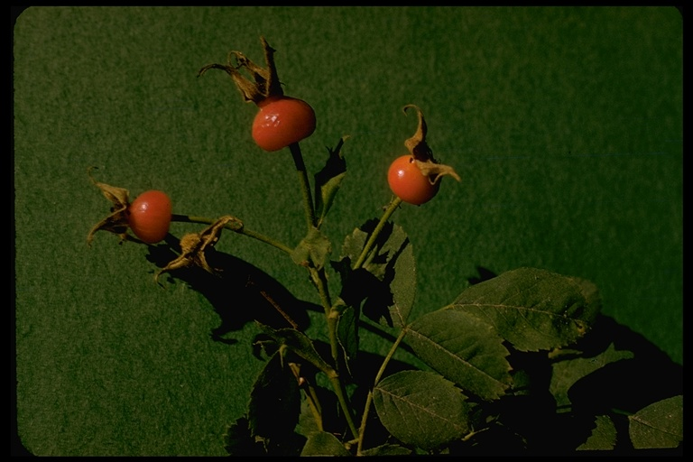 Rosa pinetorum