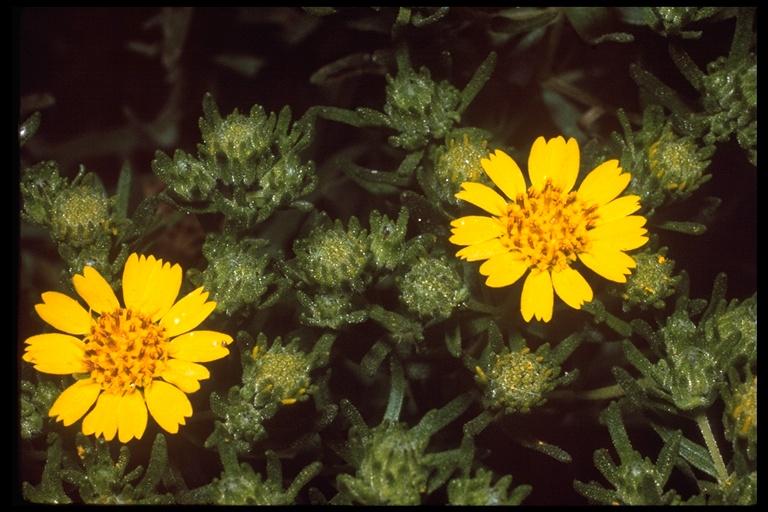 Hemizonia clementina