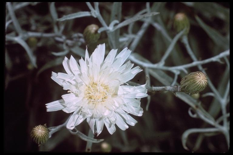 Malacothrix saxatilis var. arachnoidea