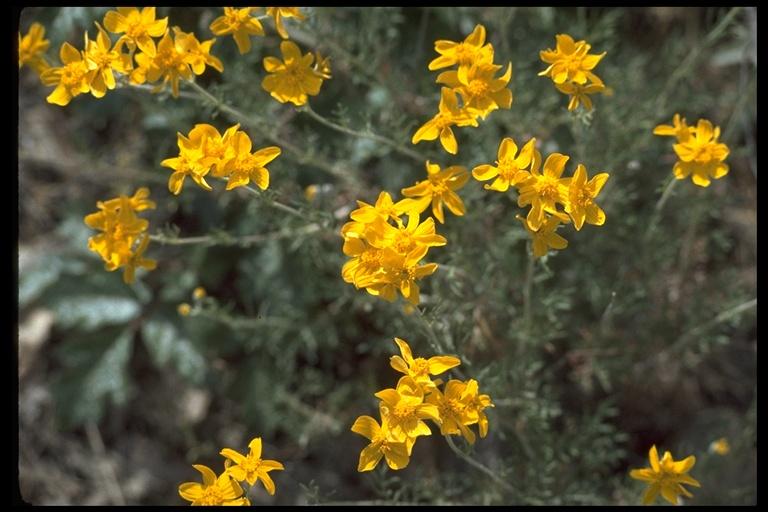 Eriophyllum jepsonii