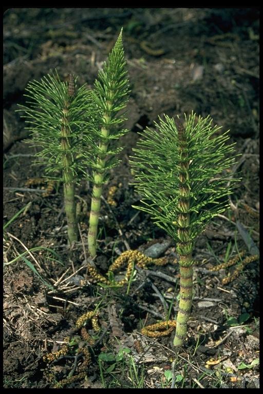 Equisetum telmateia var. braunii