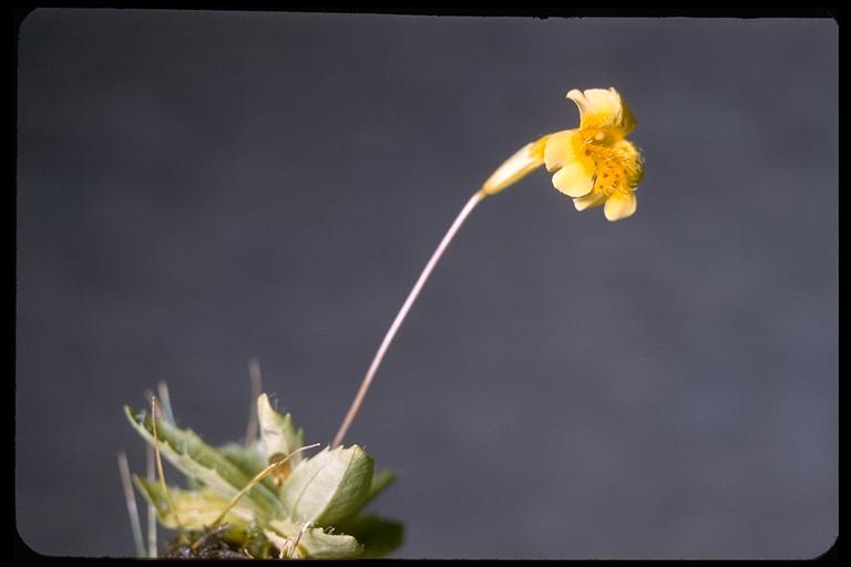 Mimulus primuloides