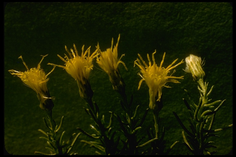 Ericameria fasciculata