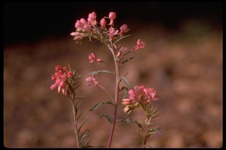 Camissonia boothii ssp. decorticans