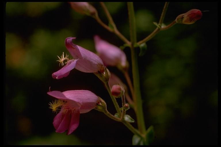 Penstemon grinnellii var. scrophularioides