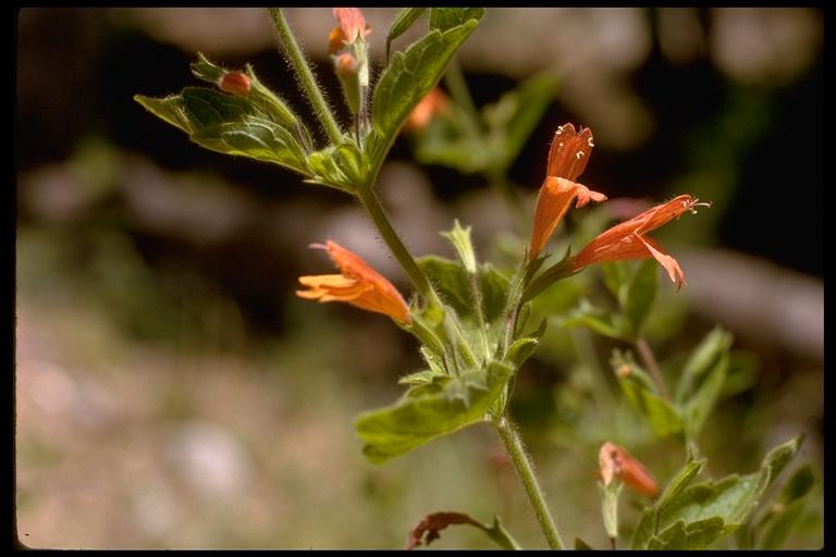 Satureja mimuloides