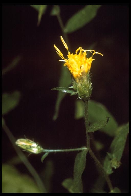 Chrysopsis breweri image