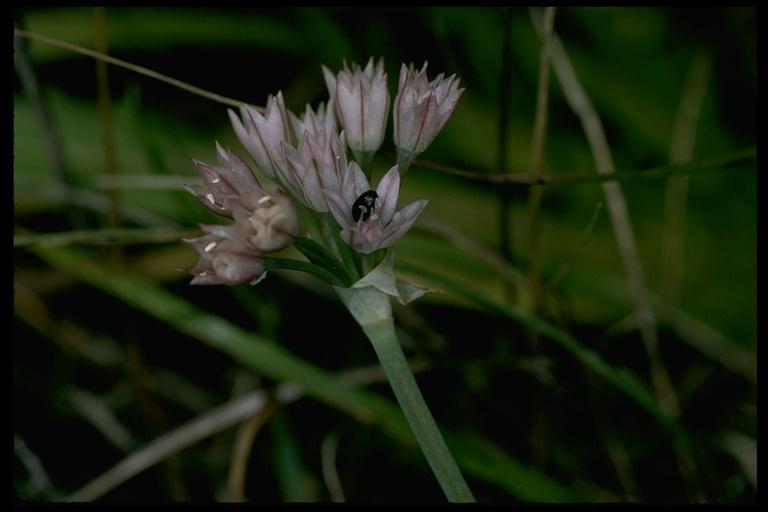 Allium hickmanii