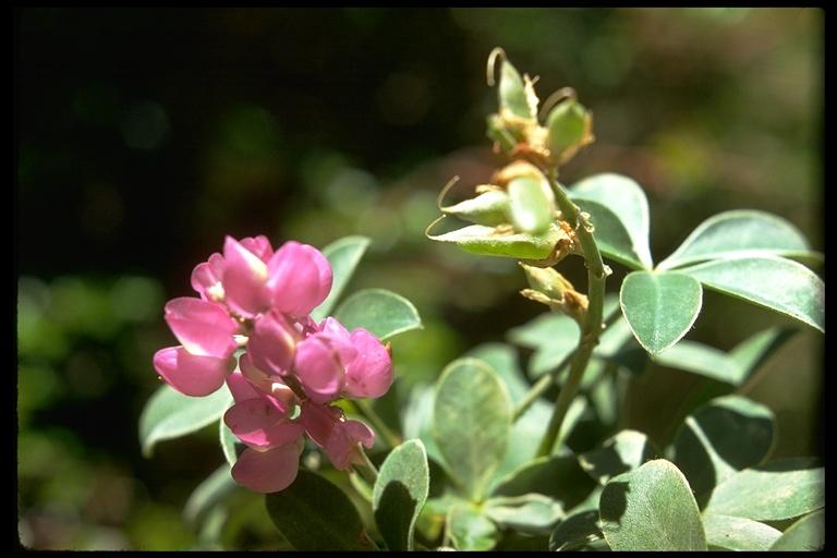 Lupinus cervinus
