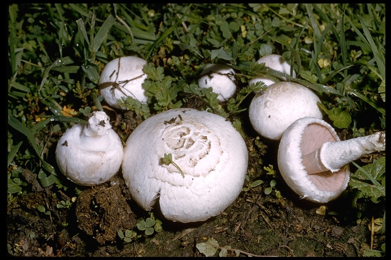 Agaricus campester image