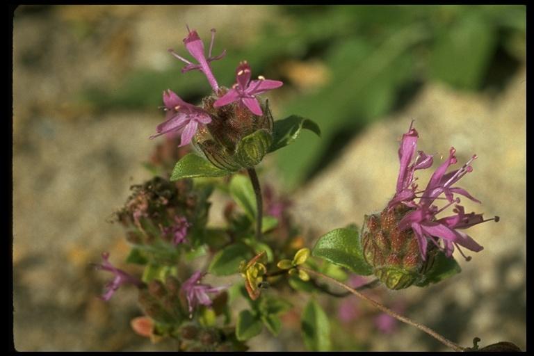 Monardella undulata ssp. undulata