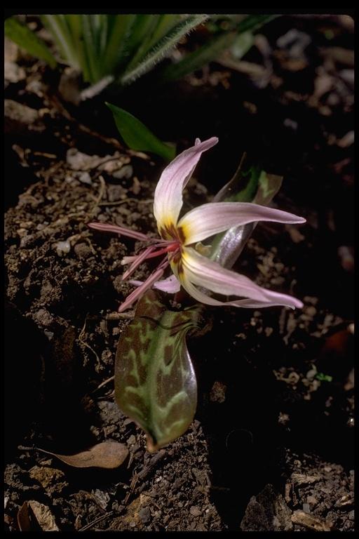 Erythronium hendersonii